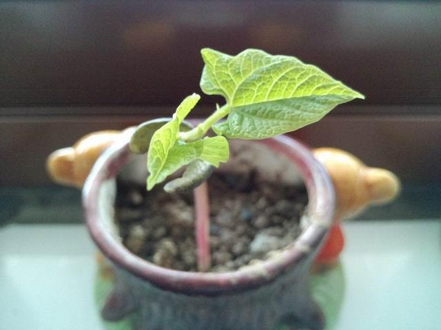 花盆种子发芽简笔画