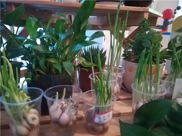察大蒜并介绍了大蒜的生长过程,孩子们对种植大蒜很感兴趣,积极性
